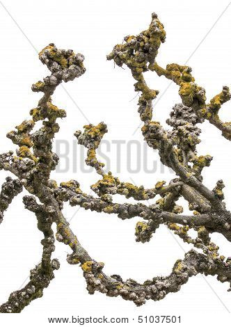 Pruned Plane Tree Branches