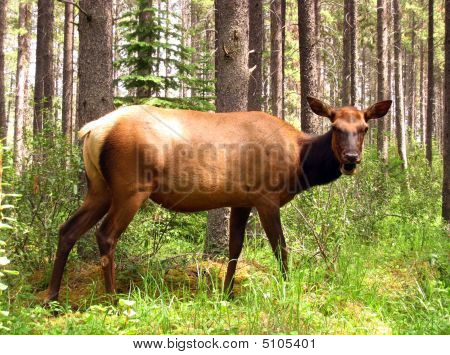 Angry Female Moose