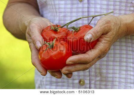 Hands Hold Tomatos