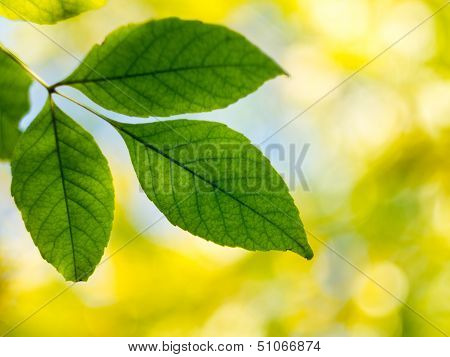 Green Leaves On A Blurred Background.