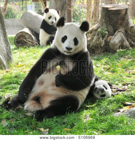 Giant Panda And Babies Playing In Chengdu Breeding Centre, China