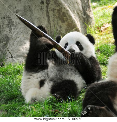 Giant Panda Cub Playing In Chengdu Breeding Centre, China