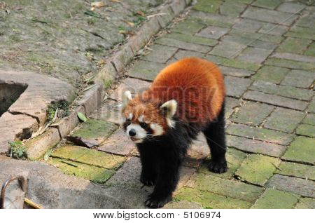 "Red Panda Or ""firefox"""