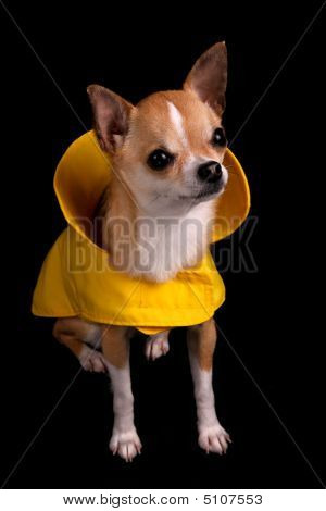 Img_7808Chihuahua In A Raincoat