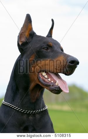 Portrait Of Black Dobermann