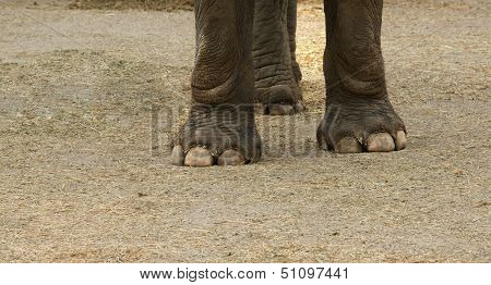 Asian Elephant Hoof