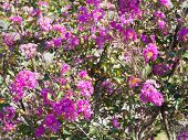 Flowers Of Crape Myrtle