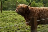 stock photo of highland-cattle  - Highland cattle are a Scottish breed of cattle with long horns and long wavy coats - JPG