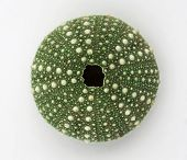 Green Sea Urchin, Isolated