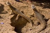 stock photo of giant lizard  - Cordylus giganteus the Sungazer Giant Spiny-tailed Lizard Giant Zonure or Giant Girdled Lizard is the largest species of Girdled Lizard.