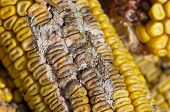 stock photo of penicillium  - corn rot  - JPG