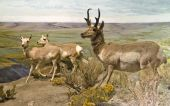 picture of dimentional  - Three dimentional diorama of a small herd of pronghorns - JPG