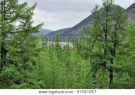 Larch Taiga In The Mountain Region Of Yakutia.