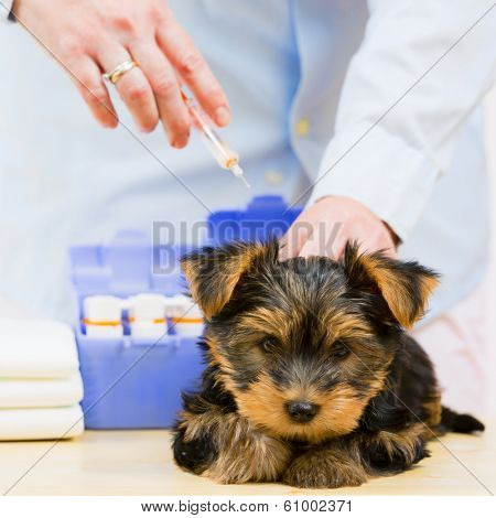 Veterinary treatment - vaccinating the Yorkshire puppy, veterinary care concept