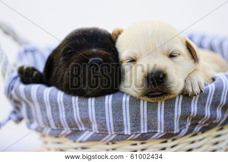 Puppy - Newborn puppies in basket