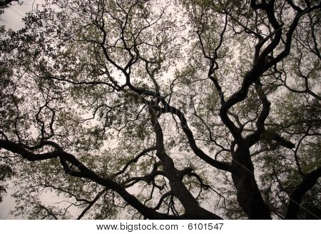 Silnouette of branches of a live oak tree