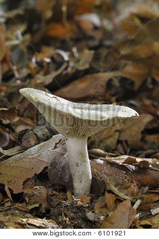 Slimy Milk-cap Fungi