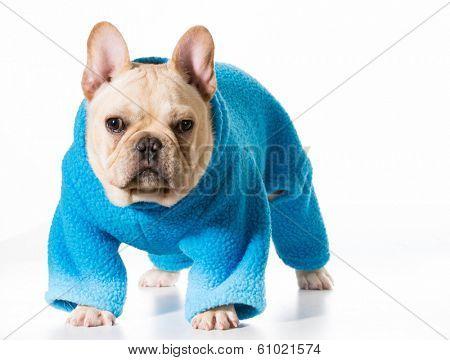 french bulldog wearing blue coat