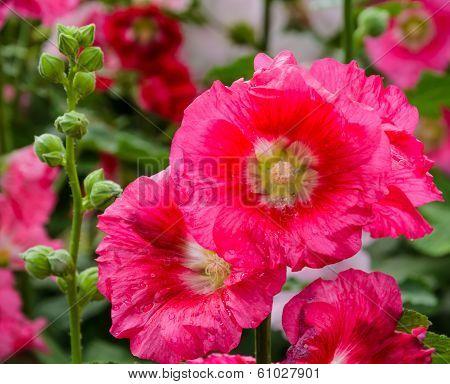 Red Hollyhock Flower