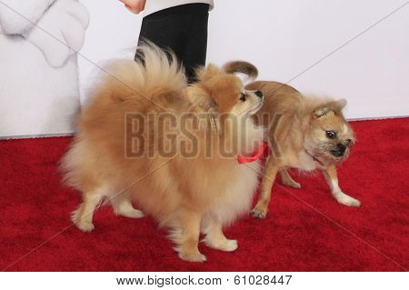 LOS ANGELES - MAR 5: Dogs on the red carpet at the premiere of 'Mr. Peabody & Sherman' at Regency Village Theater on March 5, 2014 in Los Angeles, California