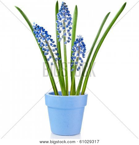 Blue Spring Grape muscari hyacinth  in clay flowerpot Isolated on white background