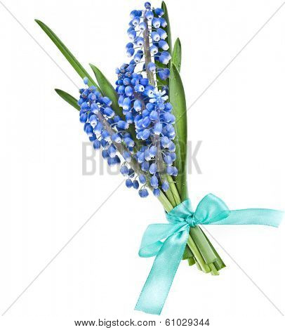 Blue Spring  bouquet of Flowers Muscari Isolated on white background