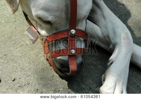 Dog with Leather Muzzle