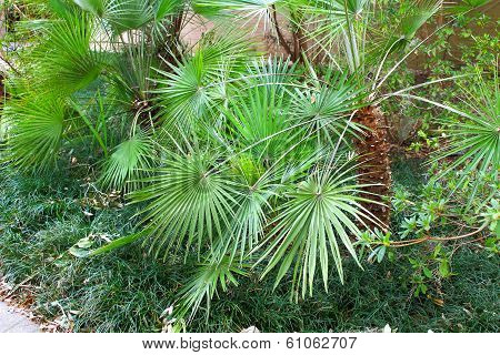 The Small Palmetto