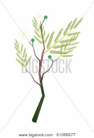 A Fresh White Popinac Plant On White Background