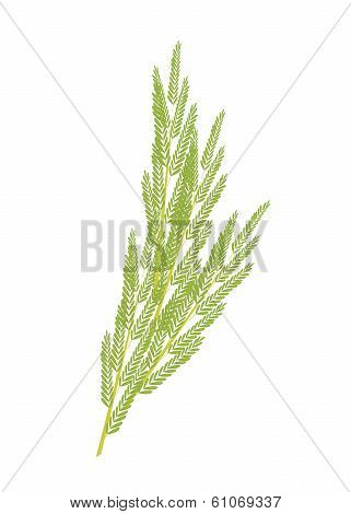 Fresh White Popinac Leaves On White Background