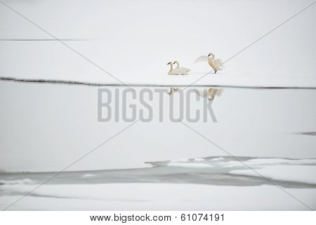 Tundra Swans on Frozen Lake