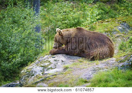 Big Brown Bear Eating Fish