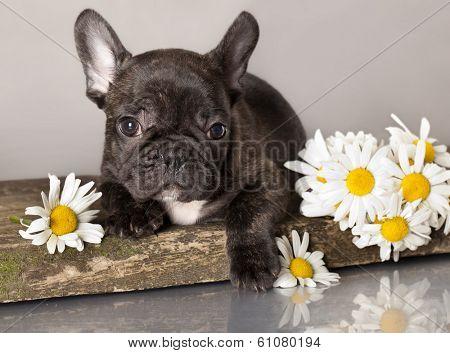French bulldog and chamomile