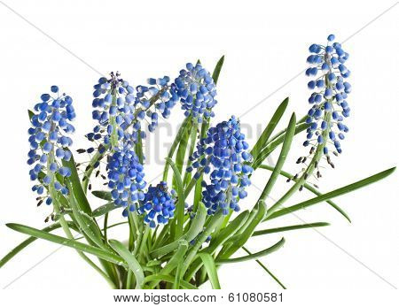Blue Springs flowers Muscari Isolated on white background