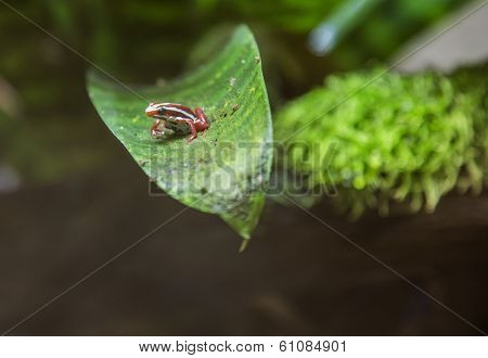 Tropical frog on leaf