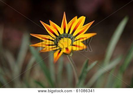 Single striped golden Gazania flower
