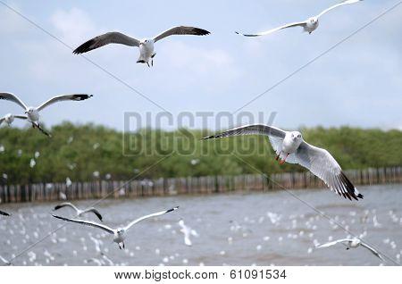 Flying Seagulls In Action At Bangpoo