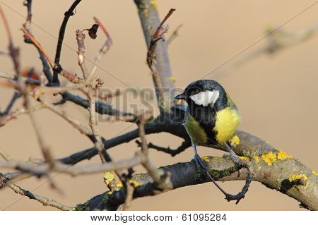 Great Tit Perched On Twig