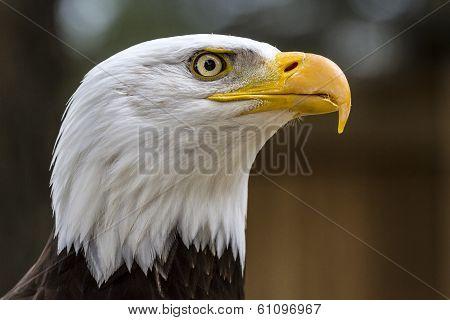 Bald Eagle. Haliaeetus Leucocephalus