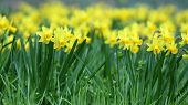 picture of jonquils  - Details of a group of spring flowers the jonquil or rush daffodil - JPG