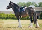 stock photo of shire horse  - shire horse under saddle on medow - JPG