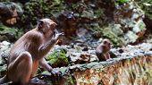 pic of cave-dweller  - A monkey eats a wafer at the Batu Caves in Kuala Lumpur Malaysia - JPG