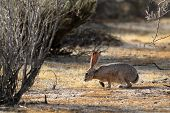 stock photo of anza  - A Black-tailed Jackrabbit in the Anza-Borrego Desert