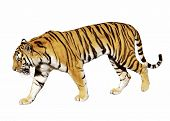 stock photo of endangered species  - tiger on white - JPG