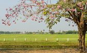 foto of lapacho  - Pink Trumpet Blossom In Front Of Green Field - JPG