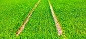 picture of veer  - marks of wheels in green field in springtime - JPG