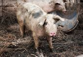 stock photo of pig-breeding  - Young dirty pig on a pig farm - JPG