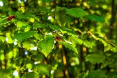 foto of hazelnut tree  - leaves of a hazelnut tree in detail - JPG