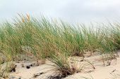 foto of dune grass  - photo of grass on a coastal dune
