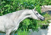 Purebred Gray Arabian Stallion poster